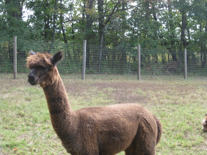 One of the alpacas at Little Lost Creek farm
