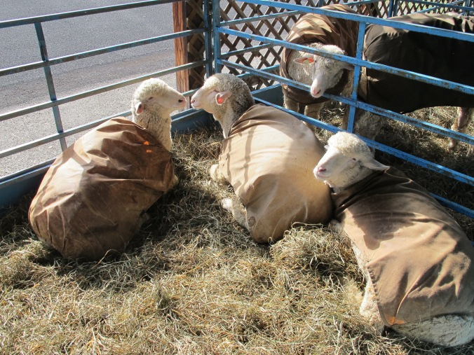 Sheep in coats